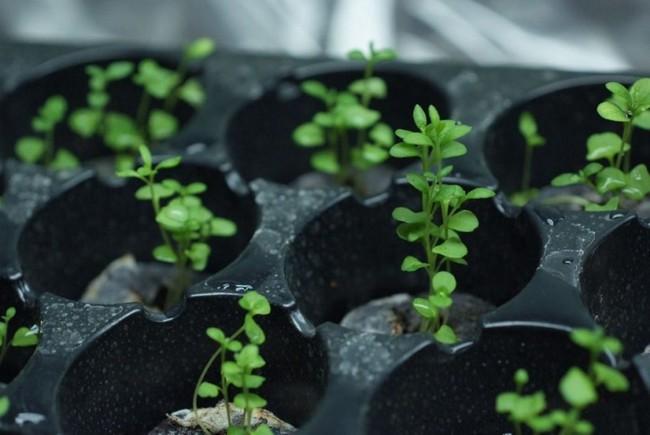 Как посадить лаванду семенами дома