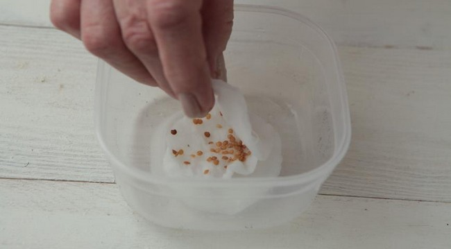 Обработка семян баклажан перед посадкой на рассаду
