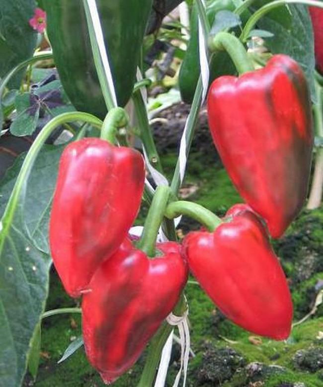 Семена перца болгарского лучшие сорта для открытого грунта