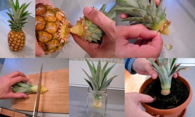 Как посадить ананас в домашних условиях верхушку