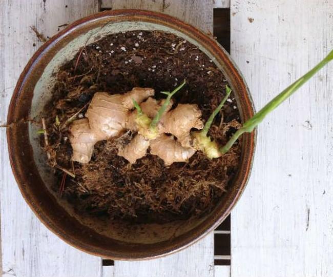 Как посадить имбирь в домашних условиях из корнеклубня