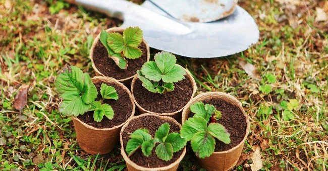 Как посадить клубнику семенами в домашних условиях
