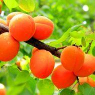 Обрезка абрикоса весной для начинающих: в картинках, пошагово
