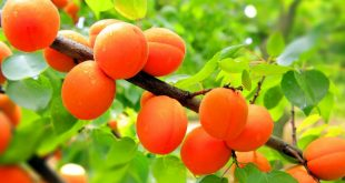 Обрезка абрикоса весной для начинающих в картинках пошагово