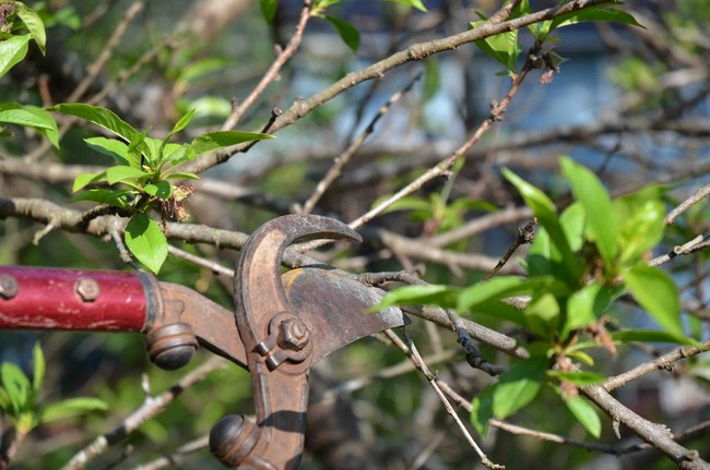 Обрезка черешни весной для начинающих в картинках пошагово