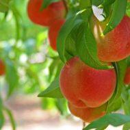 Обрезка персика весной для начинающих: в картинках, пошагово