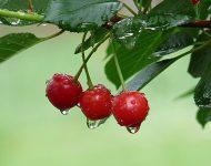 Обрезка вишни весной для начинающих: в картинках, пошагово