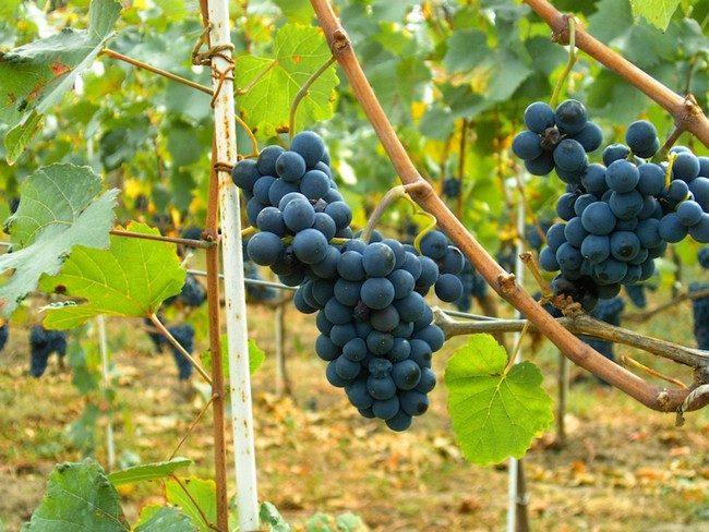 Посадка черенков винограда весной в бутылки