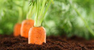 Посадка моркови весной в открытый грунт сроки