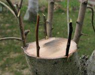 Прививка деревьев весной: сроки, видео, время прививки