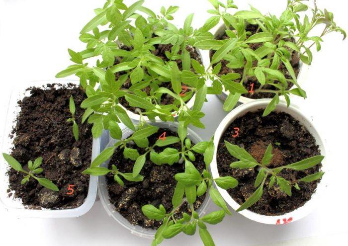 Пикировка томатов в апреле 2019 по лунному календарю