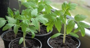 Как посадить рассаду помидоров в домашних условиях