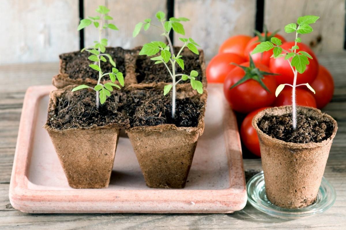 Рассада помидор в домашних условиях когда сажать в 2019 году