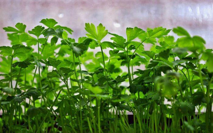 Посадка петрушки в открытый грунт семенами весной