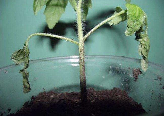 Болезни рассады томатов фото и их лечение