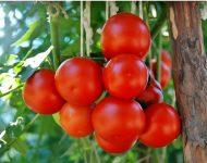 Болезни рассады томатов: фото и их лечение