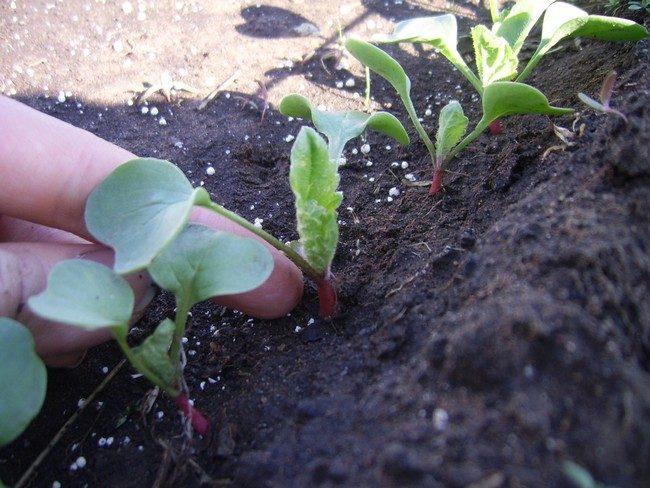 Чем подкормить редиску для быстрого роста корнеплода