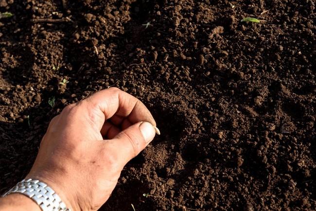Когда сажать семена огурцов в открытый грунт
