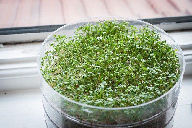 Микрозелень в домашних условиях