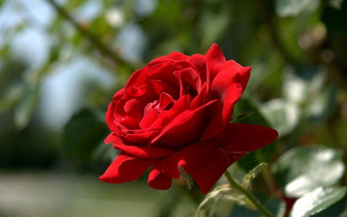 Обработка роз весной от болезней и вредителей ранней весной()