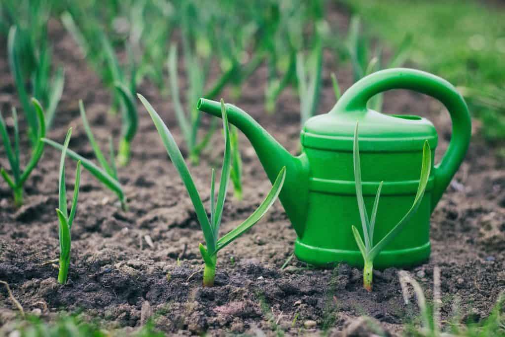 Чем полить чеснок весной