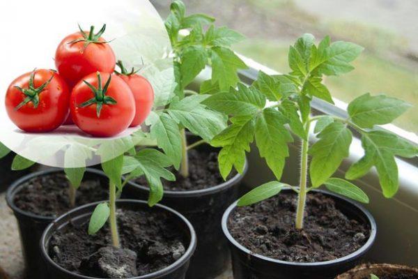 Календарь посадки рассады помидор на 2019 год