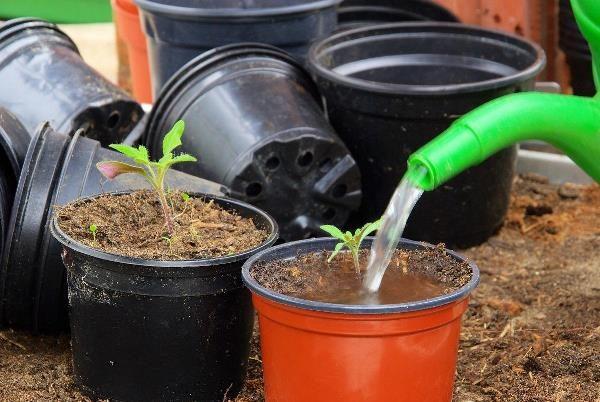 Выращивание рассады помидоров в домашних условиях