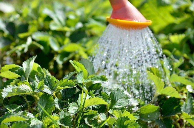 Как посадить клубнику весной в открытый грунт?