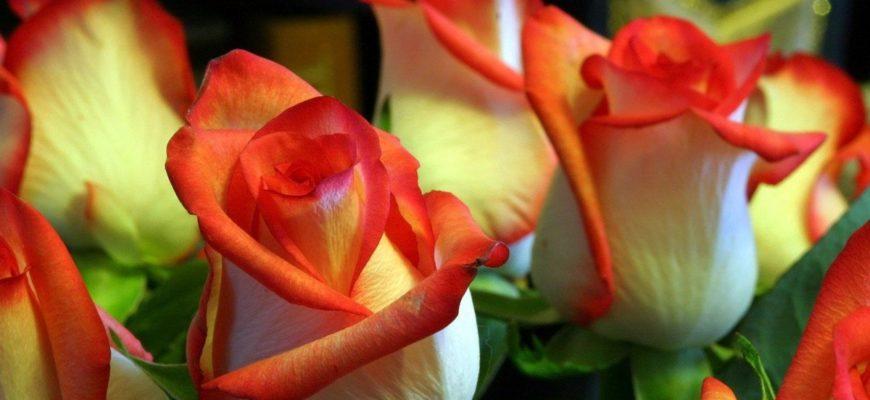 Как вырастить розу из черенка купленной розы