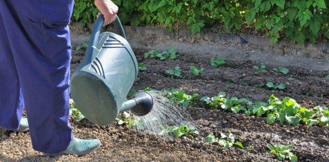 Когда сажать рассаду капусты в мае 2019