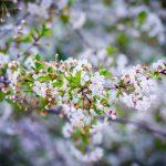Опрыскивание плодовых деревьев весной от вредителей и болезней