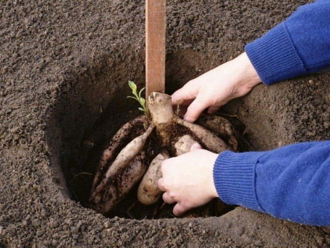 Высадка георгинов в открытый грунт весной
