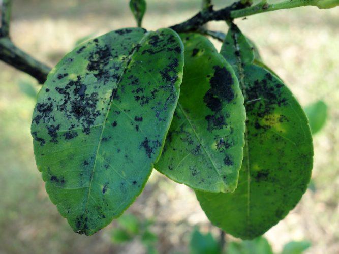 Болезни груши описание с фотографиями и способы лечения