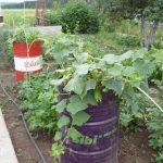 Огурцы в бочке выращивание пошагово фото