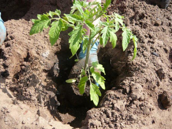 Высадка рассады помидор в открытый грунт в мае 2019