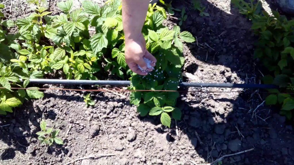 Подкормка малины весной минеральными удобрениями