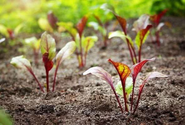 Посадка свеклы весной: посев, когда сеять, как сажать правильно?