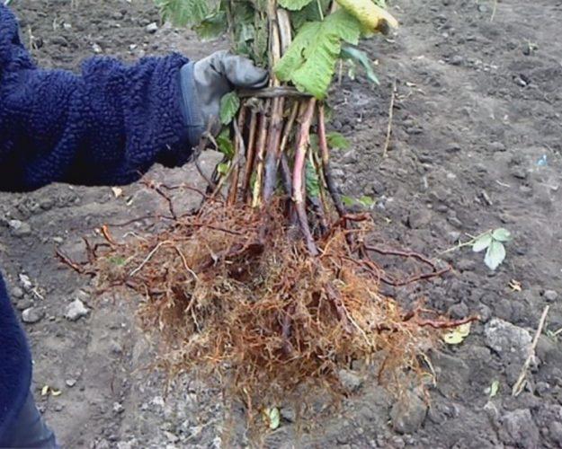 Как посадить малину весной саженцами