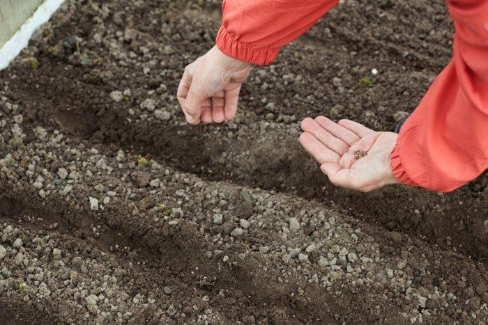 Посадка свеклы весной в открытый грунт семенами