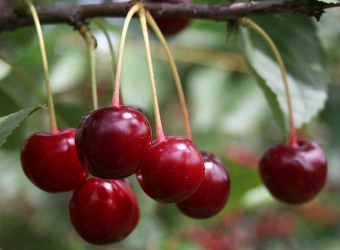 Болезни вишни описание с фотографиями и способы лечения