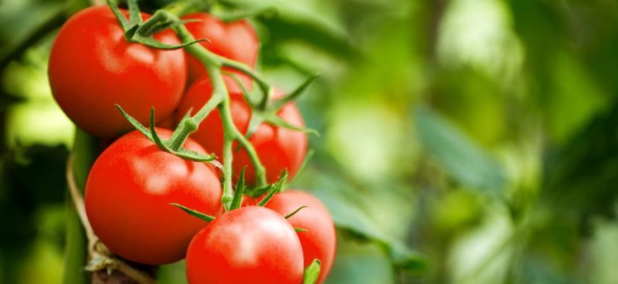 Почему скручиваются листья у рассады томатов