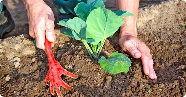 Подкормка капусты после посадки в открытый грунт