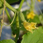 Подкормка огурцов во время цветения и завязывания плодов
