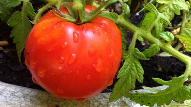 Подкормка томатов борной кислотой и йодом