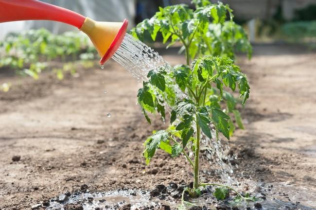 У помидоров опадают цветы что делать