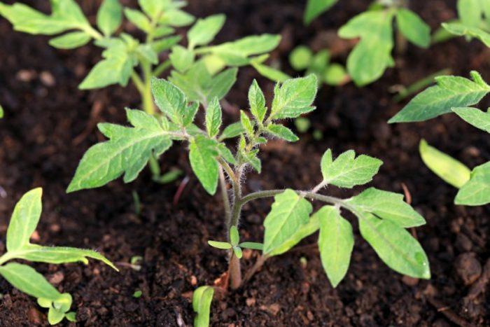 Подкормка помидор: какие удобрения и когда использовать?
