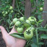 Уход за баклажанами в открытом грунте от посадки до урожая