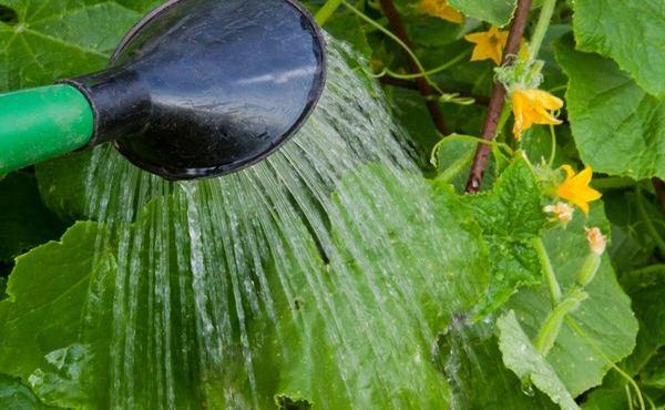 Огурцы в теплице: желтеют листья огурцов в теплице что делать?