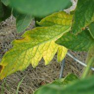 Почему у листьев рассады помидоров желтеют?