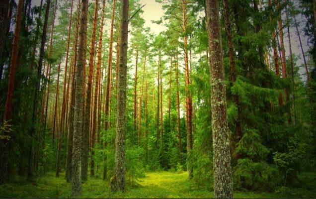 Варенье из сосновых шишек польза и противопоказания как принимать